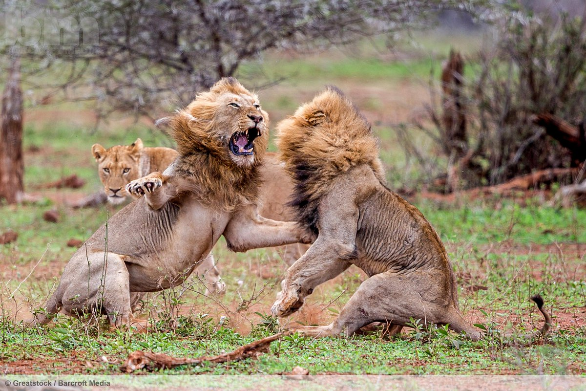 A furious lion attacks a love rival in South Africa's Kruger National Park.  ©Greatstock/Barcroft Media http://t.co/hkrX8yYA4c
