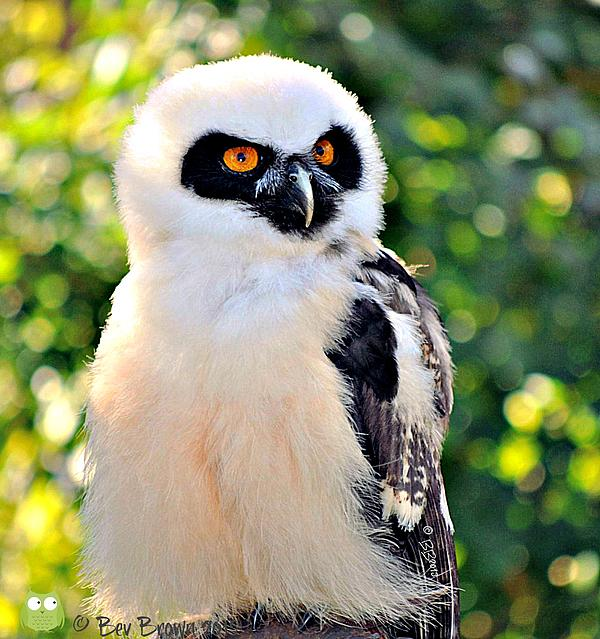 """New artwork for sale! - """"Baby Spectacled Owl"""" - http://t.co/pIIEyN7AQR @fineartamerica http://t.co/2JxIdh0TvW"""