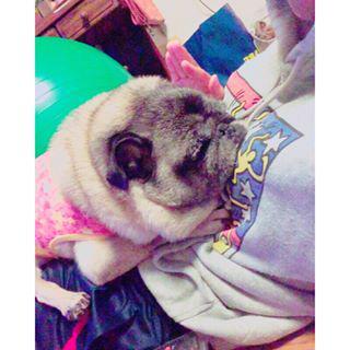 ちょこんって乗せてくるとこかわいい #ぱぐぞう#pug http://www.findelight.net/puggie_detail.html?id=1076704965147935781_1356260688…pic.twitter.com/KFhZbOgTpj