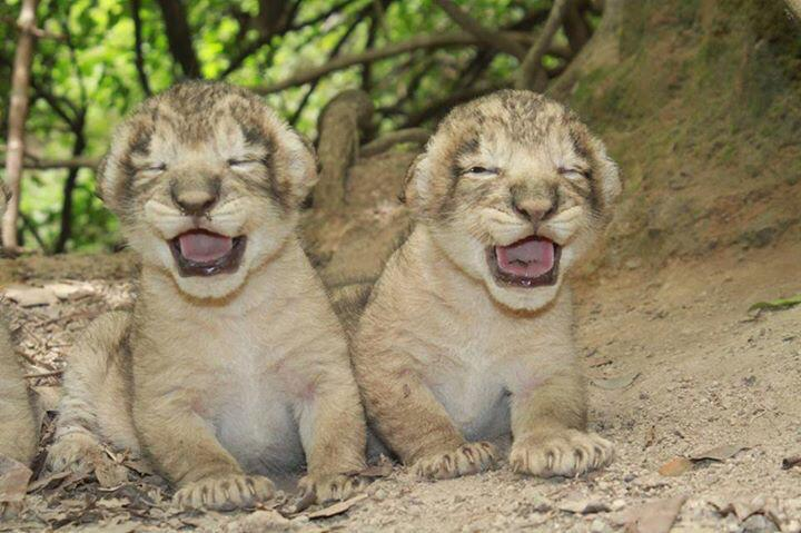 Gir Sanctuary completes 50 yrs as the home to Asiatic lion. http://t.co/ggegdRCvqK