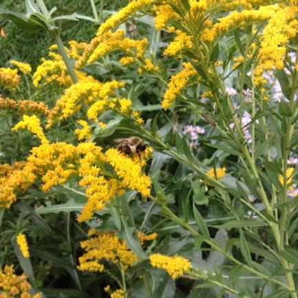 Bee on yellow goldenrod flowers
