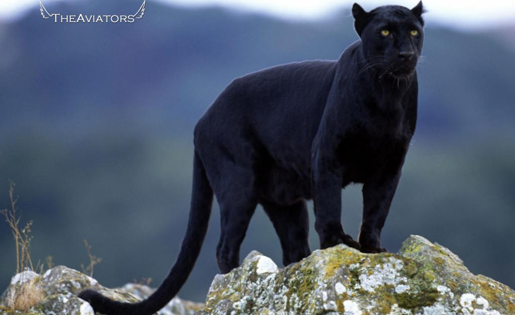 Between 1983 and 1998, sixty big cat sightings were reported in the Bodmin area! #TheAviators http://t.co/RNYeOq3FsF