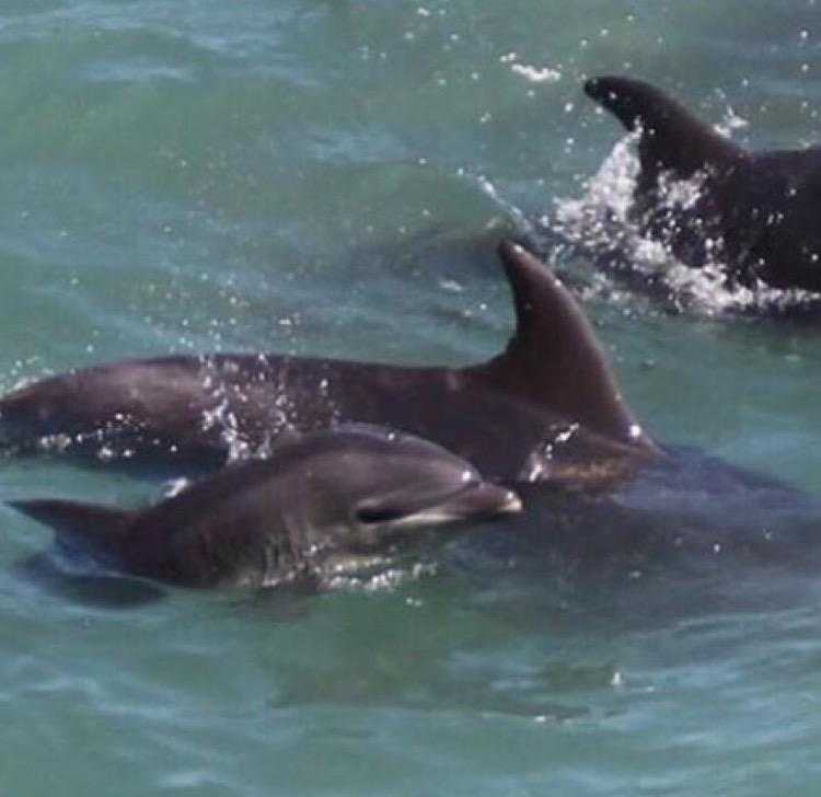 Cruel and heartbreaking a baby dolphin and its mother terrorized , many young die during the chase @Dolphin_Project http://t.co/RzkgKaNbVp