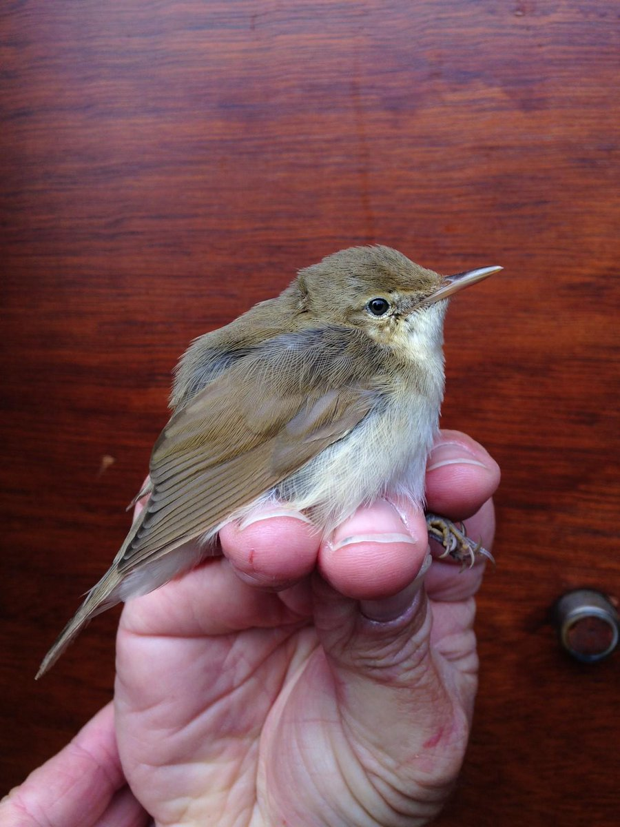 Blyth's reed warbler, ringed on Fair Isle in Scotland today