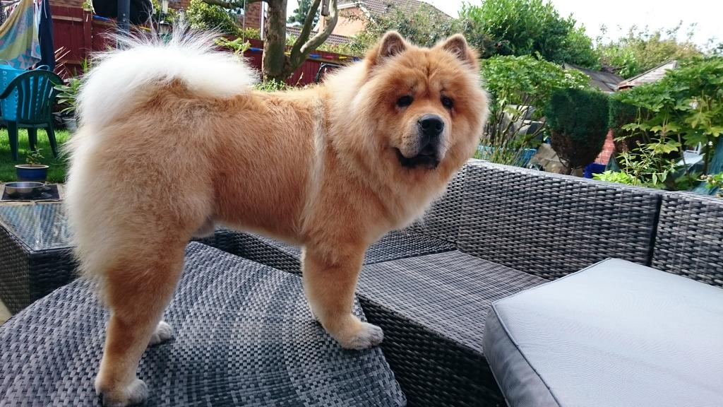 Anisa Akchich Chez On Twitter Barnaby Bear Chowchow Dog
