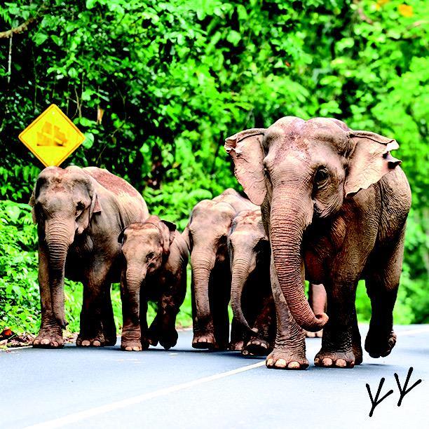 #elephants #khaoyai #thailand #weekendtravel #southeastasia #adventure #nature #chickenfeettravels @chickenfeettrav http://t.co/aHPMAeN4mf