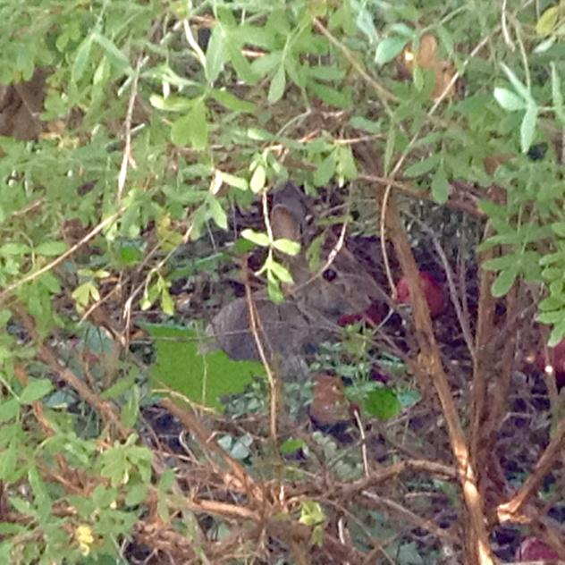 rabbit partially hidden in shrubbery