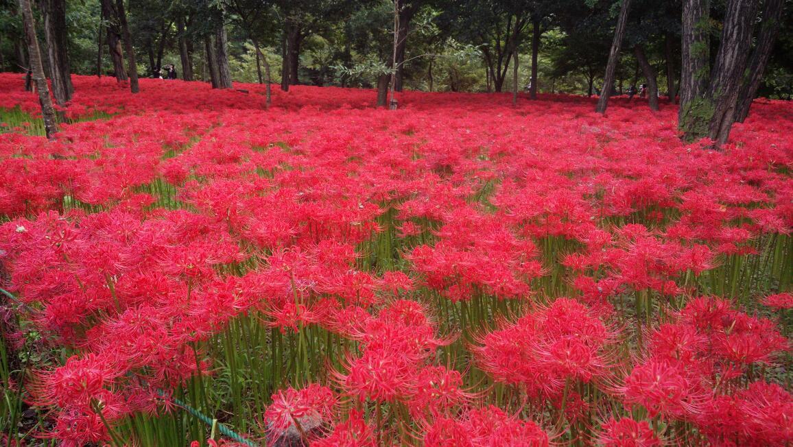 巾着田の彼岸花見て来た。満開で綺麗だったよ(*´∀`) http://t.co/Zh45AcBtWQ