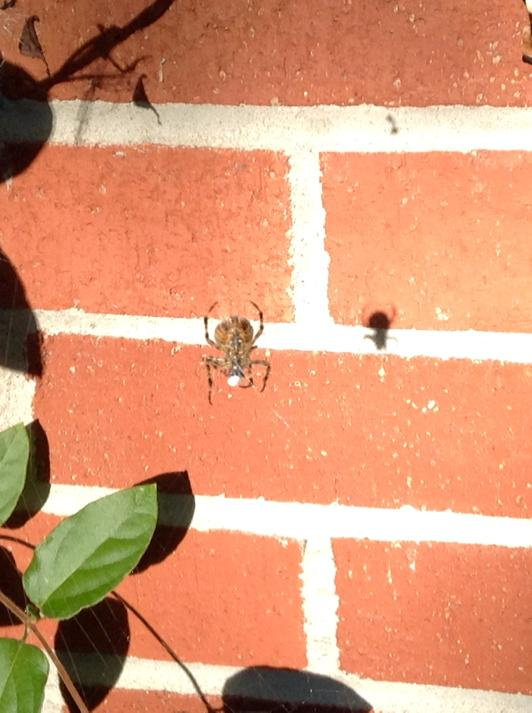 spider with prey wrapped in white silk, suspended on web in front of brick wall showing its shadow