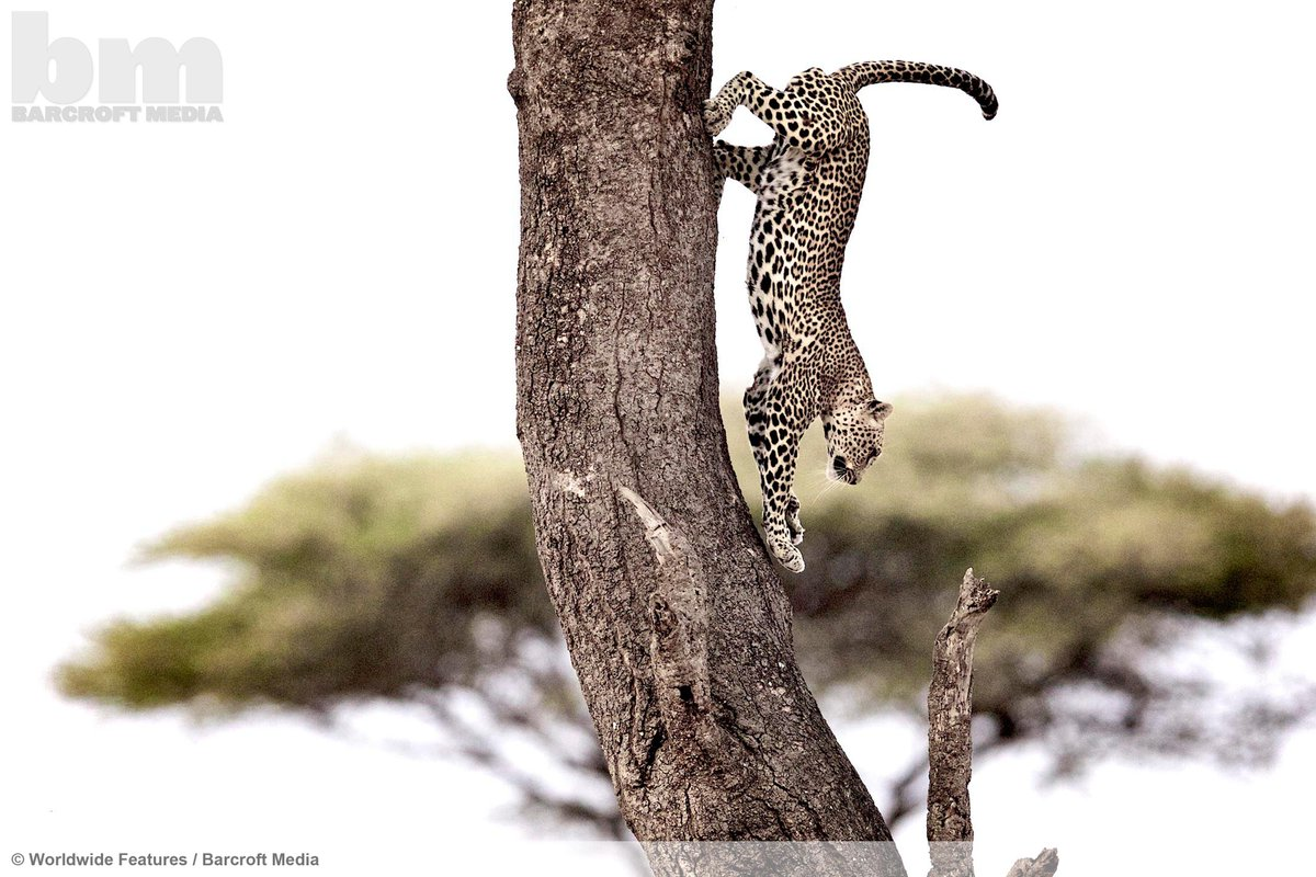 A leopard leaps from a tree in the Serengeti National Park, Tanzania.  ©Worldwide Features/Barcroft Media http://t.co/hCNobeAZ6S