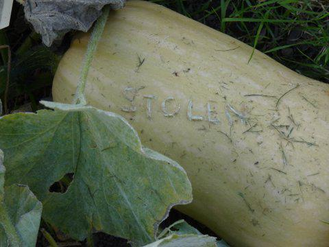 RT @The_RHS: Allotment squash/pumpkins rather stealable (should be in store by now though). http://t.co/75YvrxR6TA