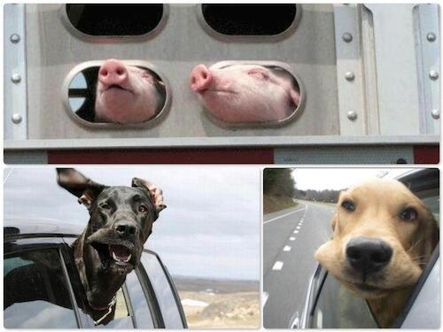 Pigs really are no different than dogs. They all want to live. Please choose #vegan. http://t.co/CMNnuln5BH