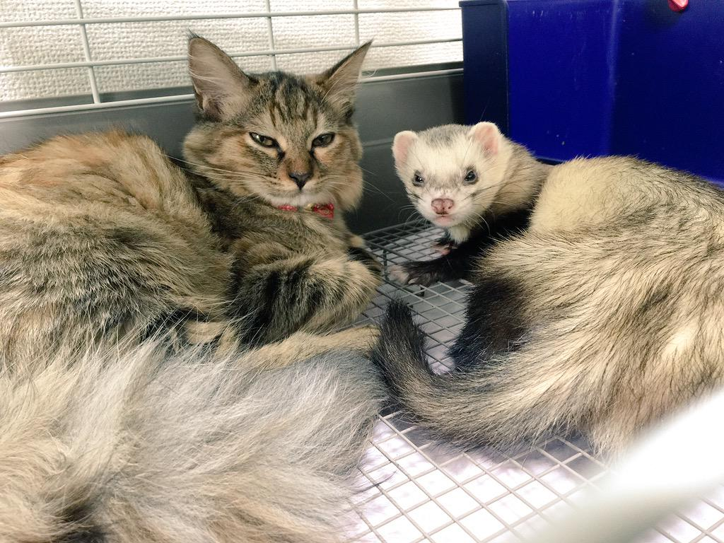 This Little Kitten Was Adopted By Her Ferret Brothers Now She - Rescued kitten adopted by ferrets now thinks shes a ferret too