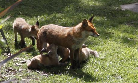 Fox traps removed from #Clissold Park as petition forces council rethink #N16foxcull http://t.co/ndNCJdoNXJ http://t.co/mUotWRiflk
