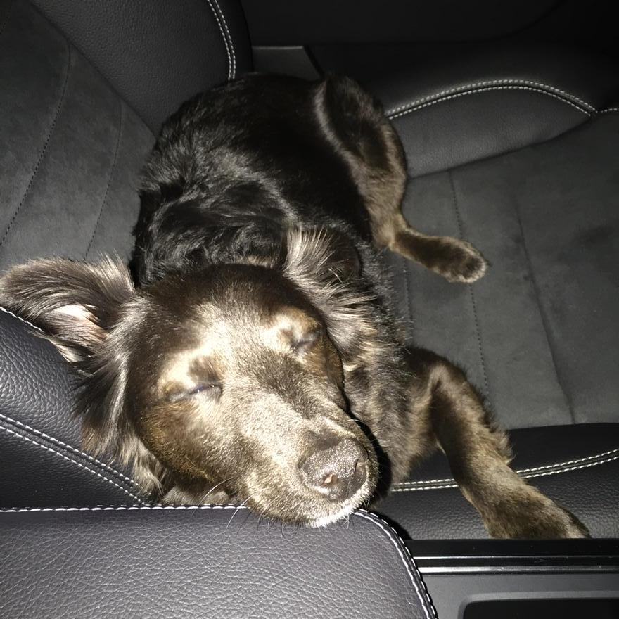 Maggie chillin' in the car! Love having her company @DogsTrust 💘 #rescuedog http://t.co/ANotqQgw3v
