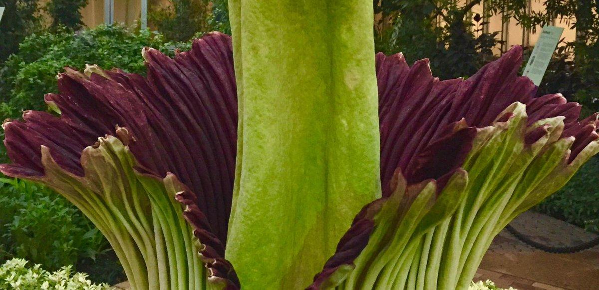 Come now to see Alice the Amorphophallus. #CBGAlice, a sibling of #CBGSpike, is blooming! Http:http://t.co/YAG09lckn4 http://t.co/F4PYgLztoR