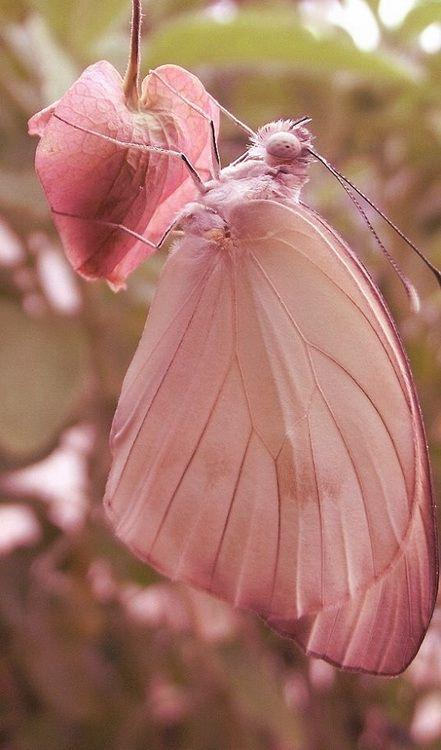 Pink butterfly http://t.co/zoIsZD9D2m