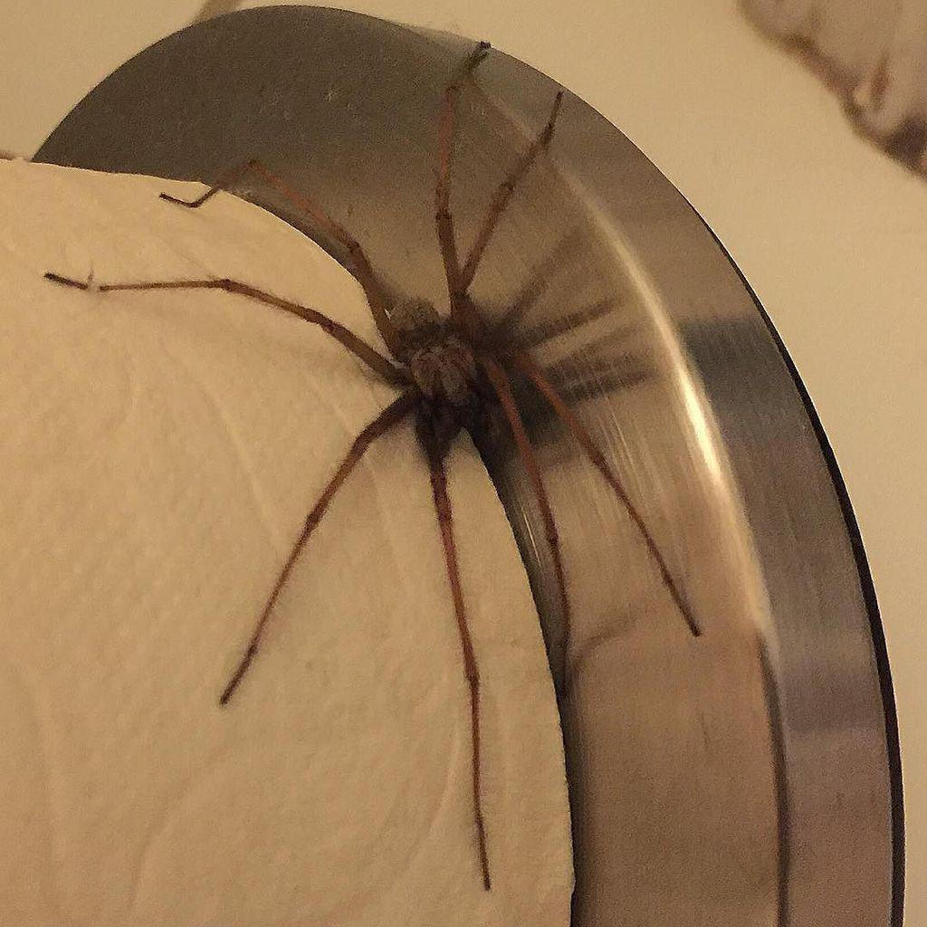 edderkopp bid på pik