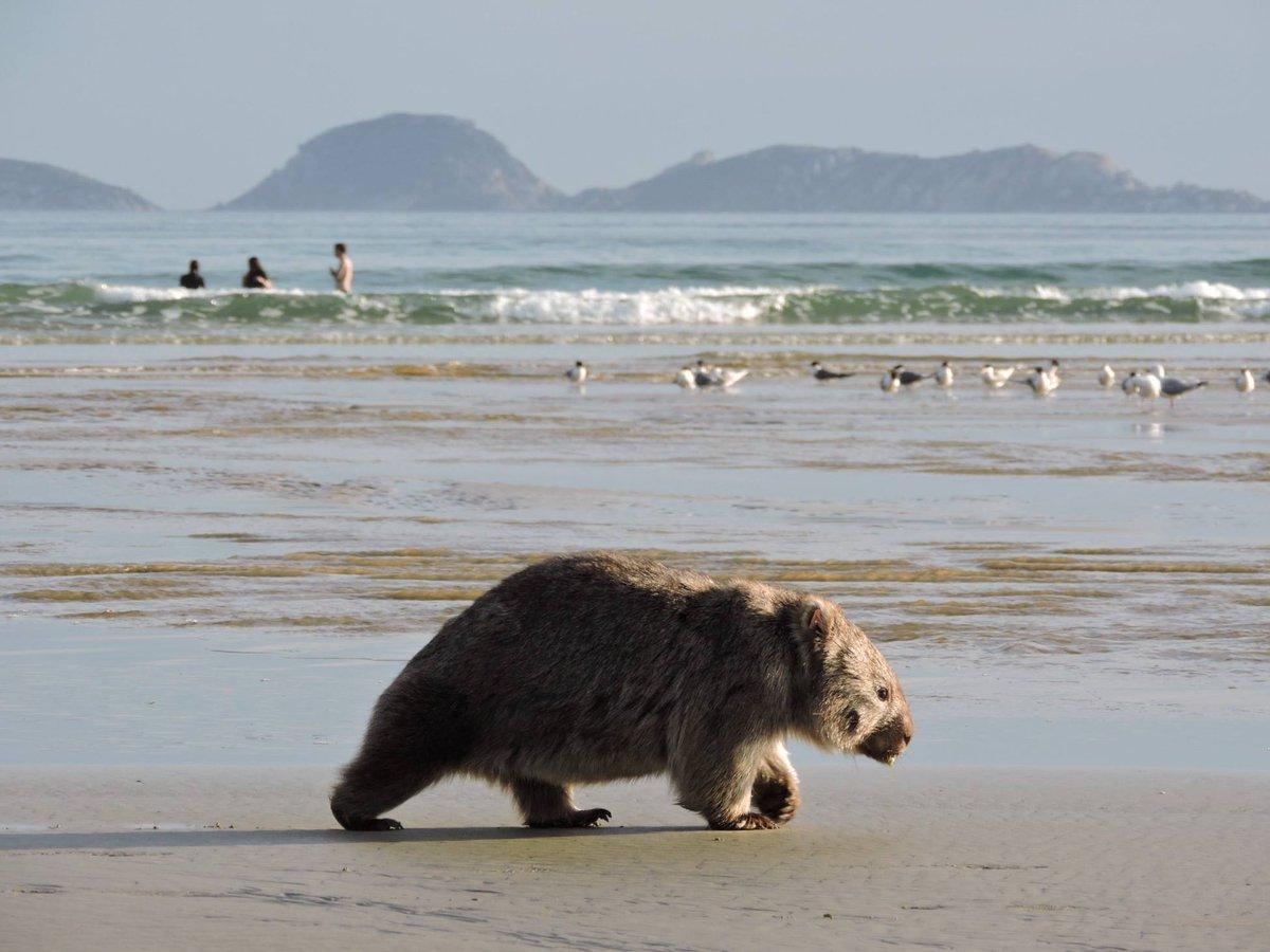 ウォンバットがビーチを散歩!オーストラリア大陸の最南端にあるウィルソンズ・プロモントリー国立公園で撮影された一枚。(via IG/shells_travels) http://t.co/yNZcWZHuTF