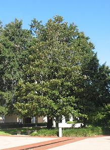 Fl Historic Capitol On Twitter This Magnolia Tree Outside The