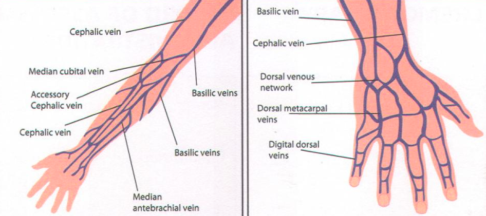 Iv Therapy Oman On Twitter Upper Arm Peripheral Veins Chart Http