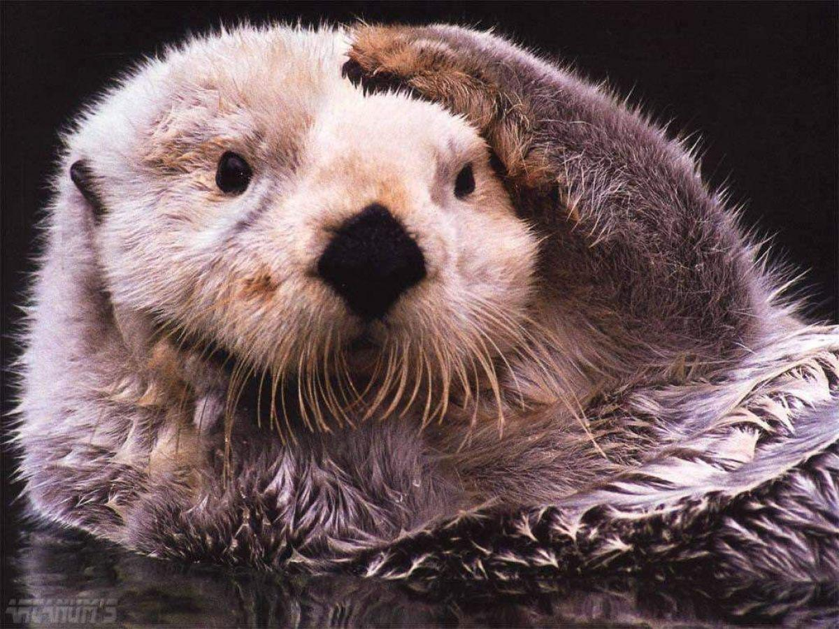 The sea otter is the furriest creature on Earth, with an astonishing 140,000 hairs per square centimeter of skin.
