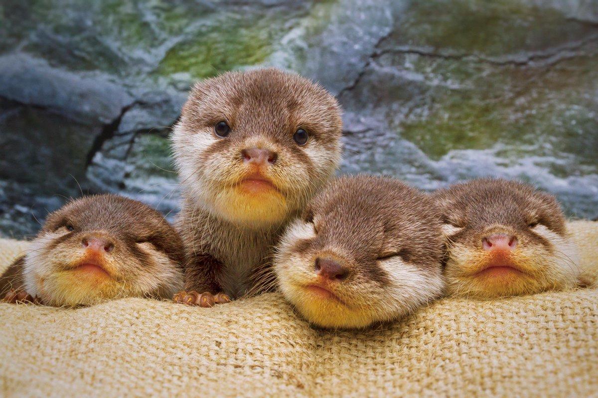 水族館のカワウソの赤ちゃん4匹