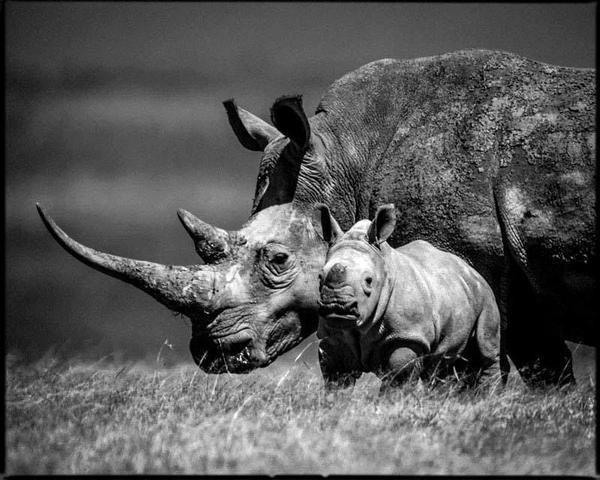 Rhinos by @laurentbaheux http://t.co/VT1r7ynwmz