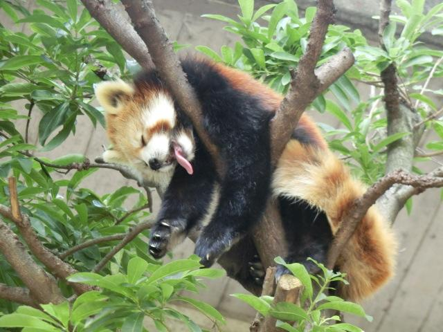 おはようございます!本日10月8日は「木の日」「十」と「八」を組み合わせると「木」の字になることから。動物いないなーと思ったら木の上も見てみてください!パシャッ!! Σp[【◎】]ω・´) ハッケン!! pic.twitter.com/yOrXlyjNzr