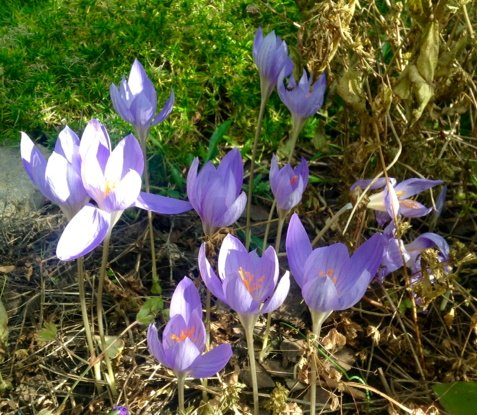 lavender coloured crocuses open in sunlight and shade