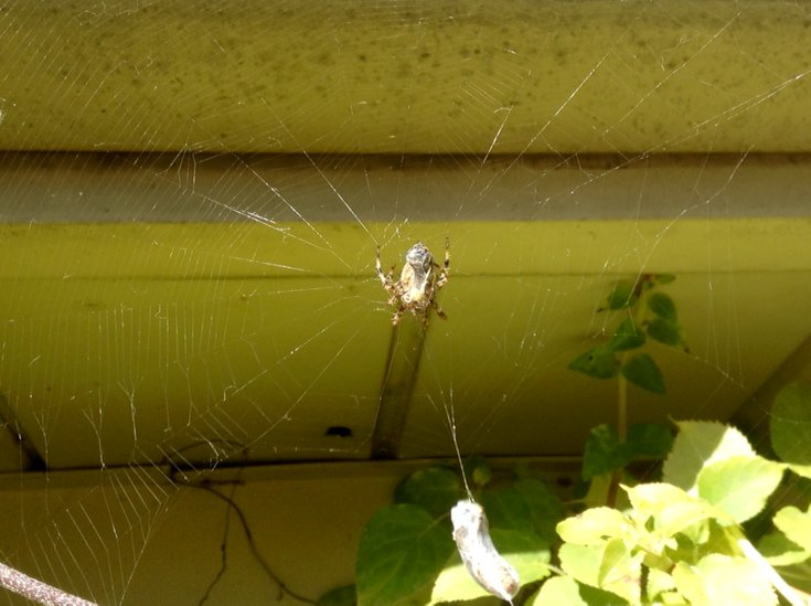 spider on web with prey wrapped in spider silk