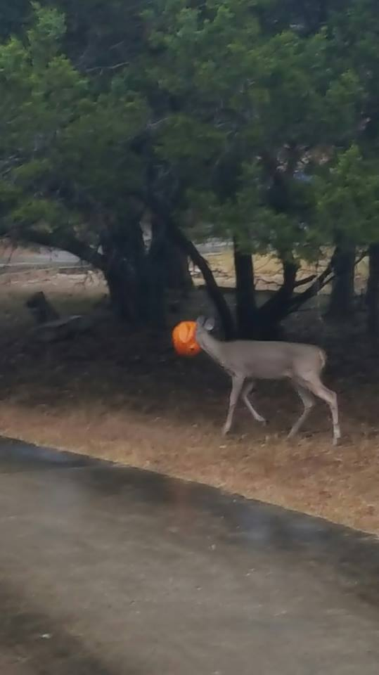 Kudos to @HaysSheriff deputies Mark Andrews and Anthony Schafer for saving this deer with pumpkin on its head! https://t.co/GXOsJCO9uj