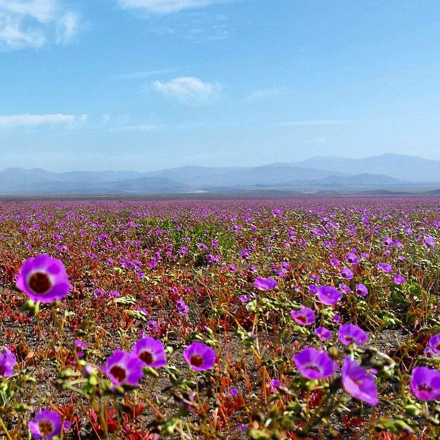 Kivirágzott az Atacama-sivatag