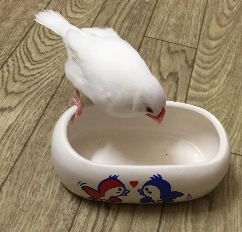 うちの子の水浴び用の器を空で置いてみた『おっ!ワシのお風呂置いてある!ワシの大好きな水浴びの時間かご主人!』『よっしゃ!!!!気持ちいい水浴びしよ!!!!!(ドボンッ!…のつもり)』『……え?』『…………は?』 pic.twitter.com/24R3f5JimT