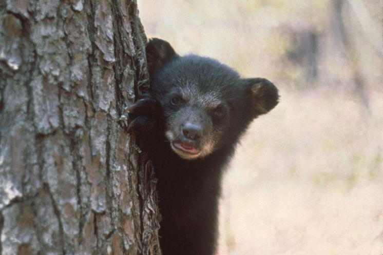 Column: State bear hunt ignores science