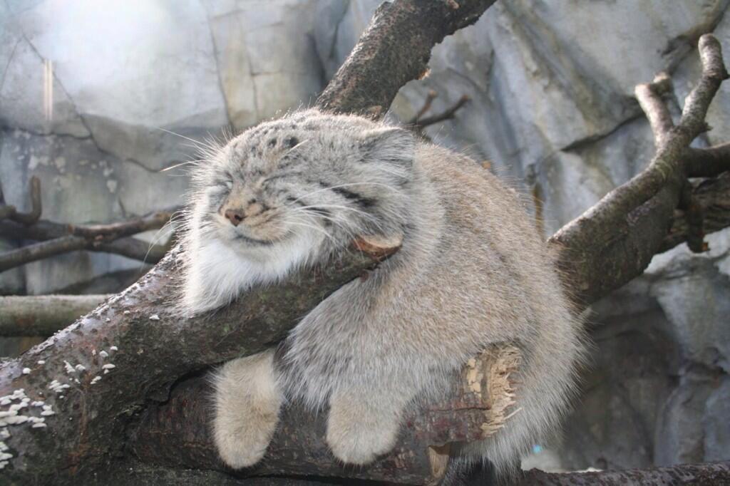 蒼樹うめ展へ行く方々へ上野動物園にはこんなにかわいいマルヌネコが居ます。入園料払う価値はあるとは思うので、上野にお越しの方は是非とも上野動物園のマルヌネコに会いに行ってあげて下さい。 pic.twitter.com/5UKXWUbH7z