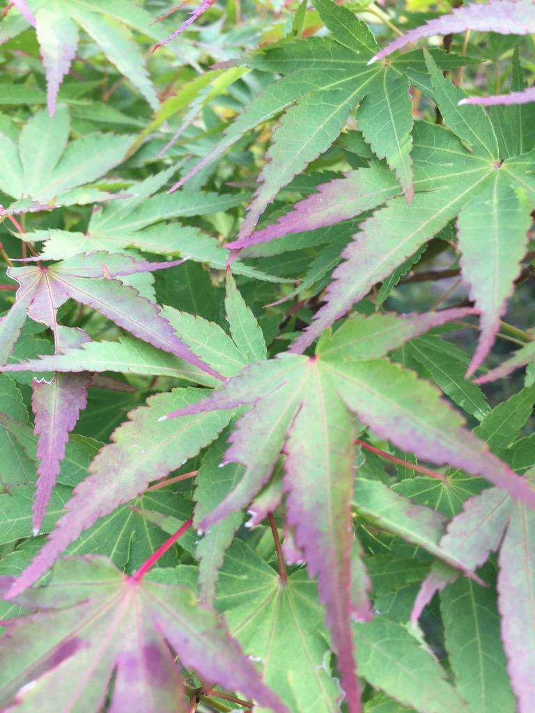 Garden Plants On Twitter 43 Acer Palmatum Komachi Hime Http