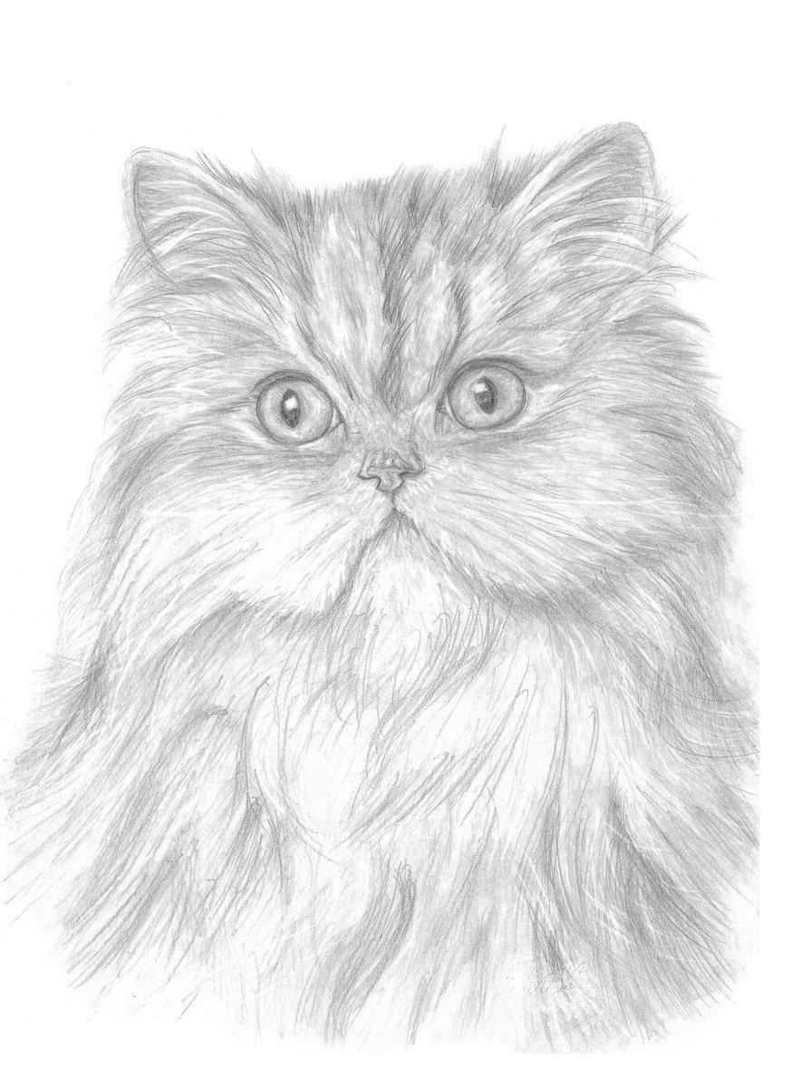 персидский кот картинки нарисовать