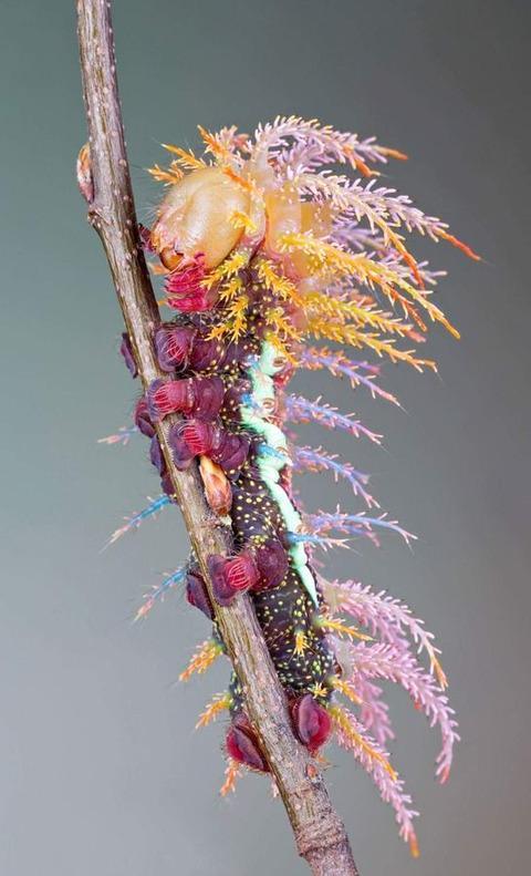 これアマゾンで発見された新種の毛虫らしいんですけど、新種の生き物ってこうあってほしいというのを見事に叶えたフォルムだと思う。最高。歯と歯の間に挟まった食べ物のカスが綺麗に取れそう。 http://t.co/L7BoHThskv