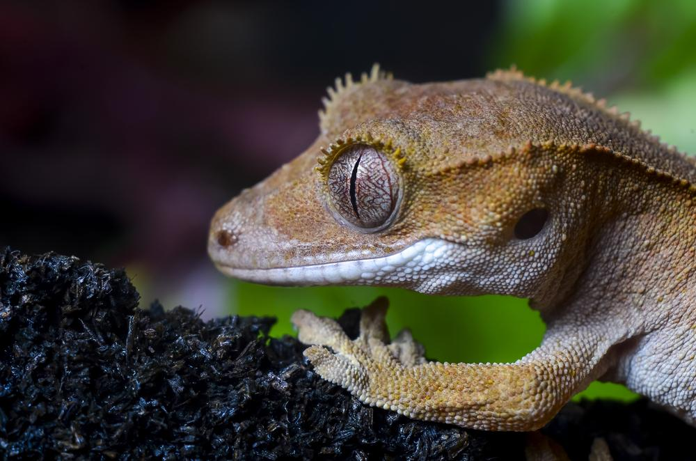 Petco On Twitter Didyouknow Crested Geckos Are Known As The