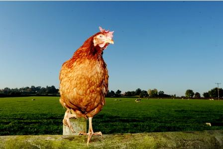 RT @Leicester_Merc: How a Leicestershire farmer needs YOUR help to save 5,000 hens from the chop http://t.co/msQpECL6sH http://t.co/IFOB5Mm…