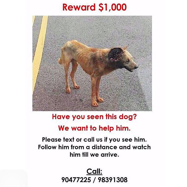 Please help look out for this dog last seen in Yishun. His right side has been attacked by maggots. He can be cured! http://t.co/lxmr7q0f93