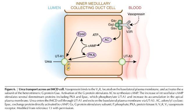 urea and ammonia metabolism pdf