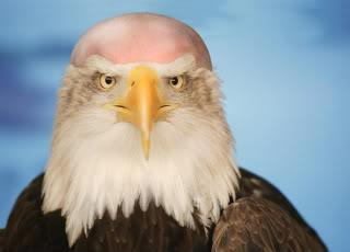 Bald eagle shaved