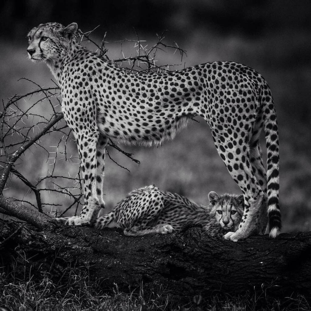 Majestic animal: cheetah by amazingly talented @laurentbaheux the beauty of cheetah. https://t.co/A6SqJcT8H1 RT @zgigichan @RonniEmden