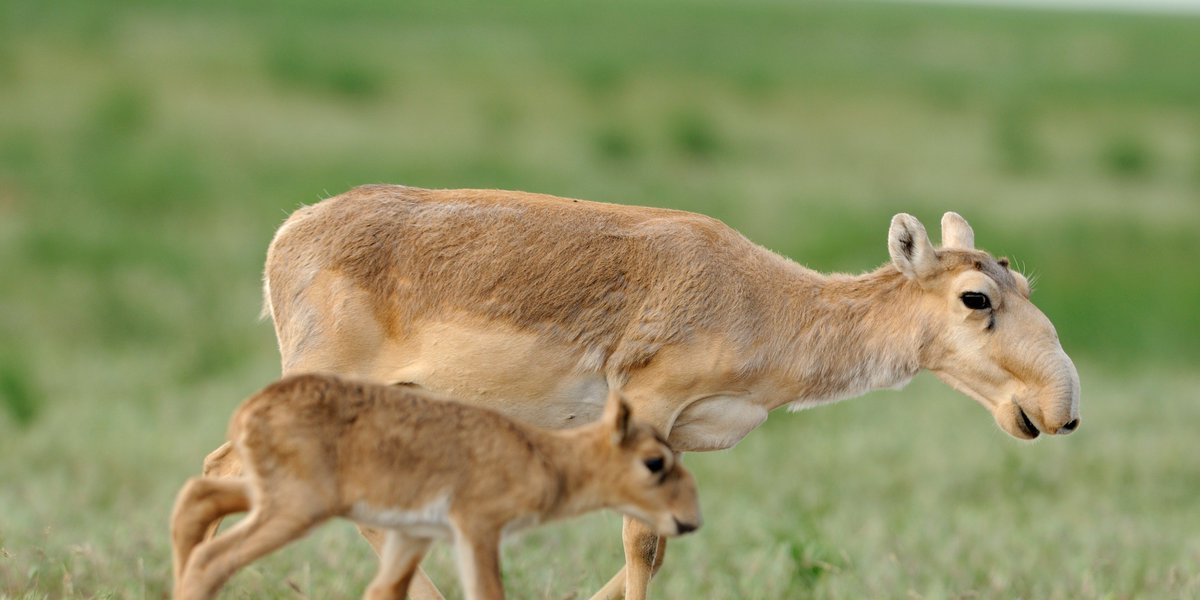 211,000 endangered antelope died this spring, and scientists finally think they know why https://t.co/7sIuy4jjg5 https://t.co/O4NxuLM5ph