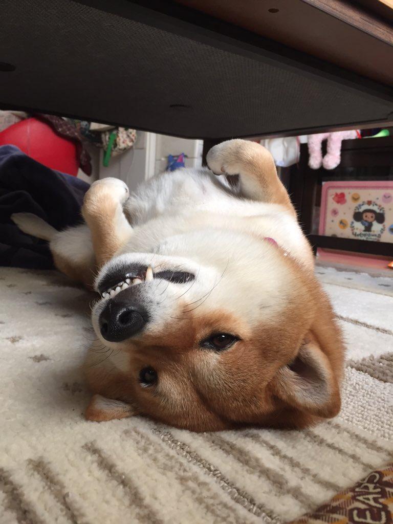 やっぱり、散歩行く?って声かけると寝たふりするよね😤 pic.twitter.com/IGWqC7EbU3