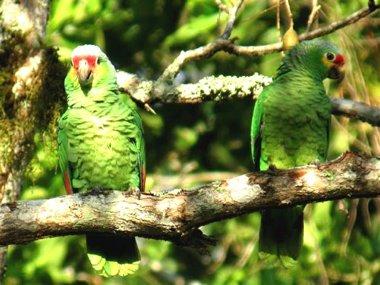 """Рубрика: """"Знаете, ли вы, что...""""  Речь #попугая обычно воспринимается как бессмысленное.."""