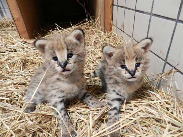 2頭はオスとメスと判明しました。生後15日目でオスが648g、メスが611g。元気に育っています! #サーバル #多摩動物公園 東京ズーネット最新記事☞tokyo-zoo.net/topic/topics_d… pic.twitter.com/hpC1rBuu1w