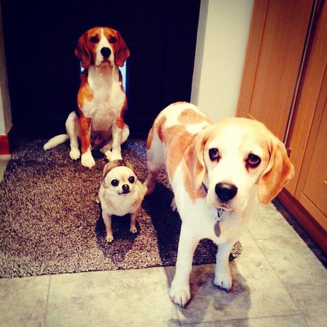 Good Wisconsin Beagle Adorable Dog - CSLiaP-UYAA68WI  Image_911612  .jpg